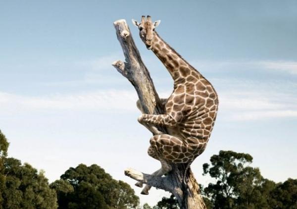 giraffe climbs tree pic