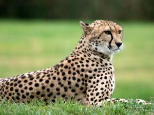 africa-cheetahs