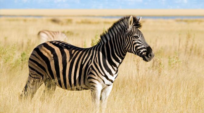 Zebra at the Farm (joke)